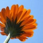 Die Ringelblume hilft bei Wunden