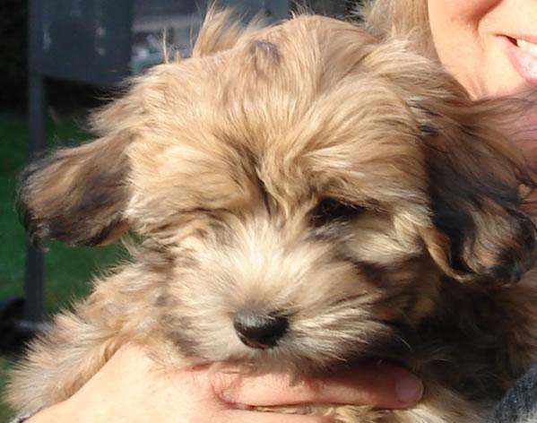 Hundewelpe-kinderwunsch1 in Kindermund - Ich wünsche mir ein Haustier